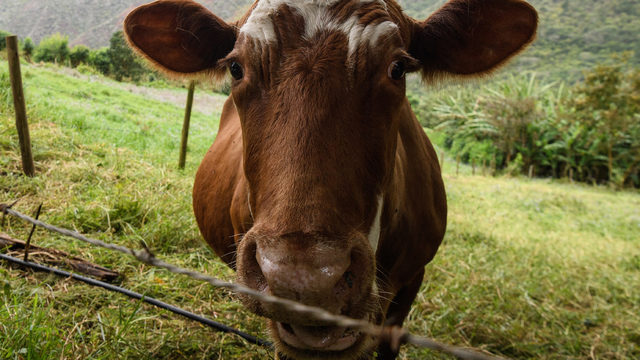 Isolated case of Mad Cow Disease caught Early in Scotland