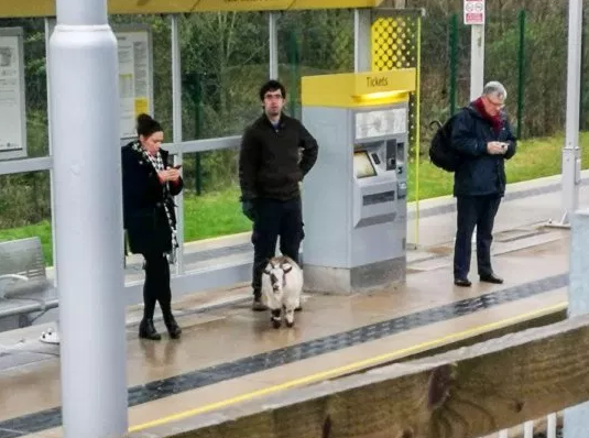 Missing Goat Found Waiting For Tram